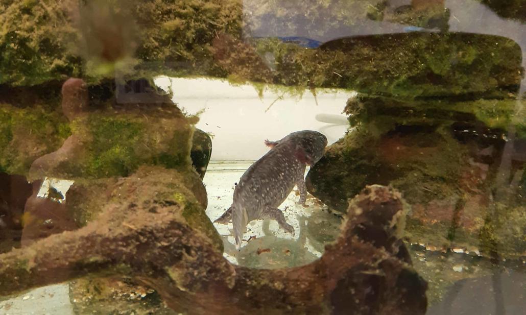 Der Axolotl ist ein mexikanischer Schwanzlurch.