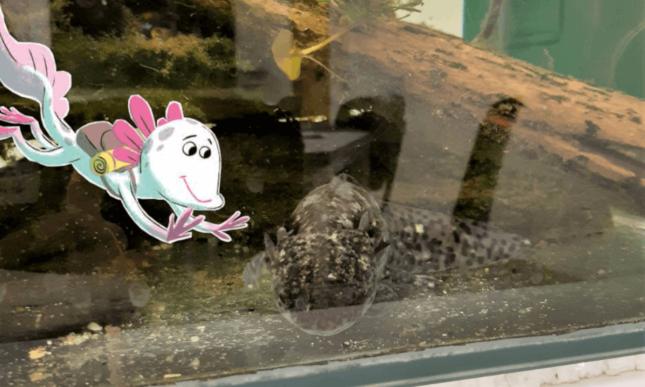 Axolotl Nali besucht seine Artgenossen an der Uni Salzburg.